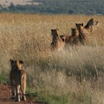 Healthy Voyager Tours – Kenyan Safari