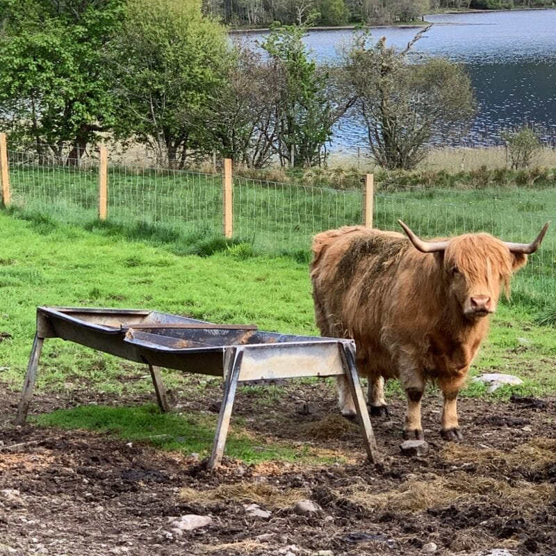 hairy-coo-scotland-healthy-voyager